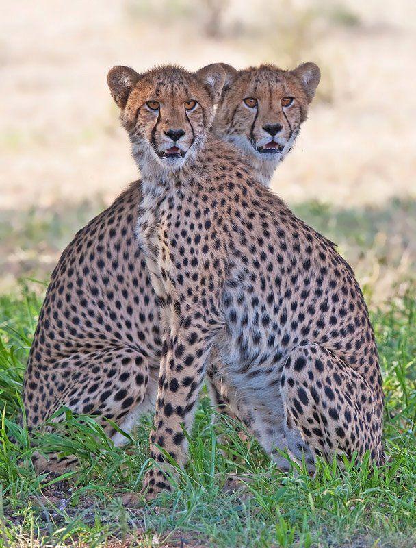 Cheetah Twins by Hendri Venter. #Fotografía