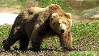 Смотреть онлайн видео Охота На Медведя, Hunting Bear. #3