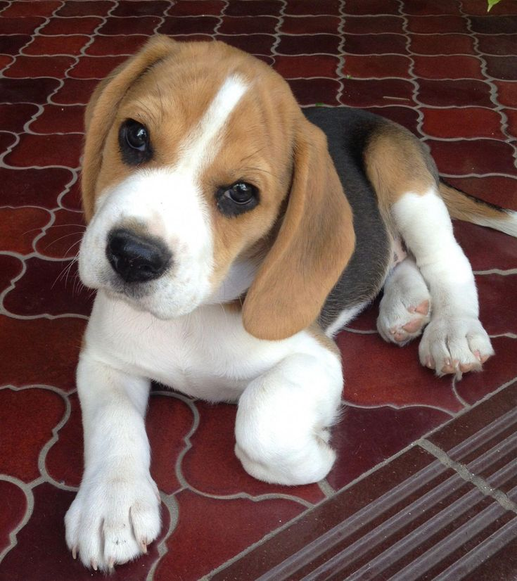 Everything About The Beagle Puppies Exercise Needs