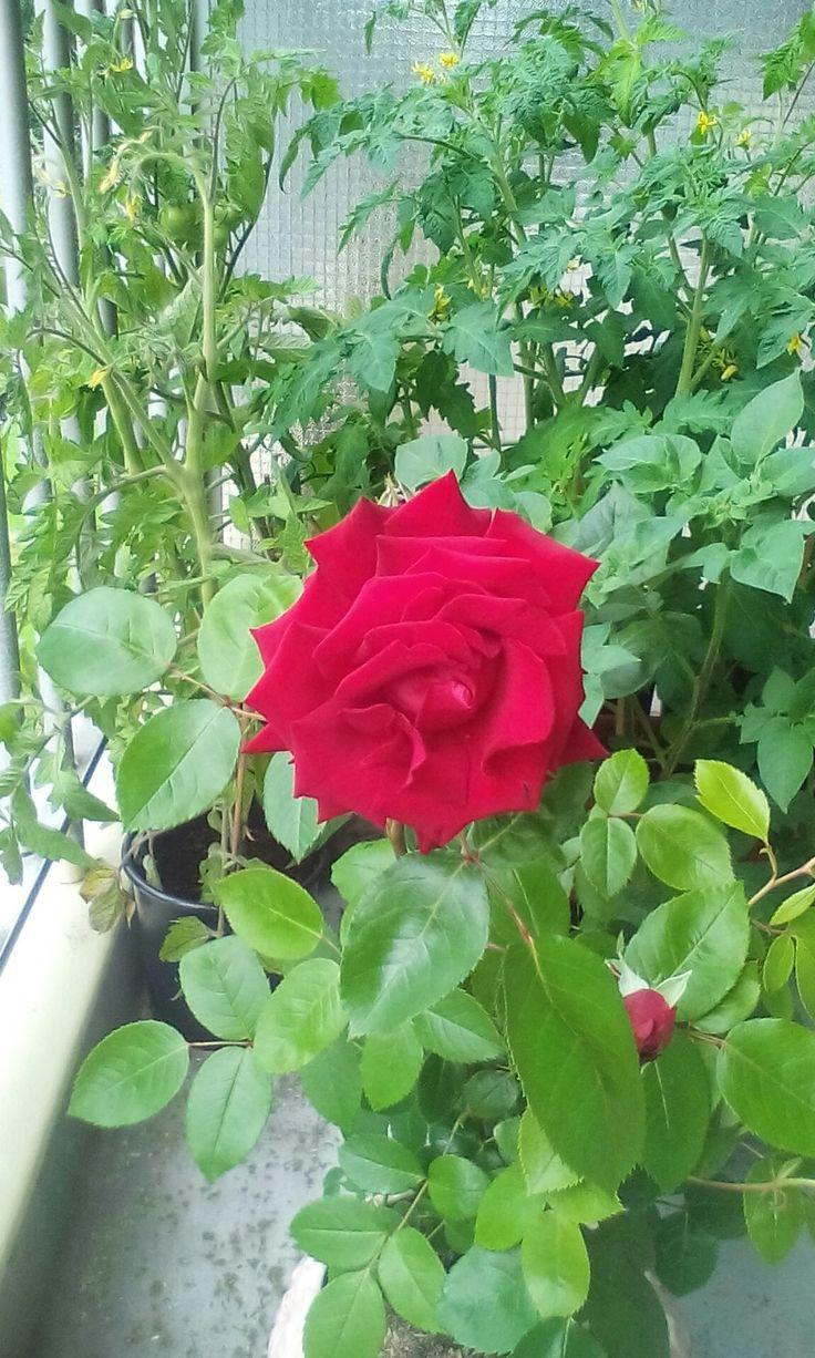 Een roos tussen de tomaten.