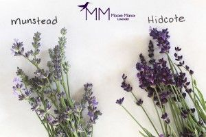 Munstead or Hidcote lavender?????      I think I have Munstead lavender.