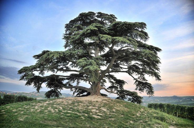 Langhe. .CEDRO DEL LIBANO! !! NON SONO MONASTERI !!! Questo è un monumento x noi!!!!