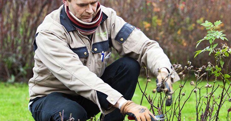 Kylmänarat ruusut kannattaa suojata talveksi. Verkkojen ja runkosuojien lisäksi voi käyttää ruusun juurakkoa suojaavaa talvisuojaturvetta. Lue ammattilaisen vinkit.