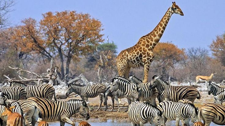L'Etosha Pan. Ce parc national de 22.275 km² est un désert de sel. Des points d'eau permettent d'y observer un nombre important d'animaux sauvages.