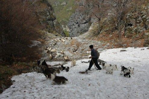 Pe Valea Tamnei, ciobanii din Izverna isi coboara oile - Poienile de Sus ale Cernei