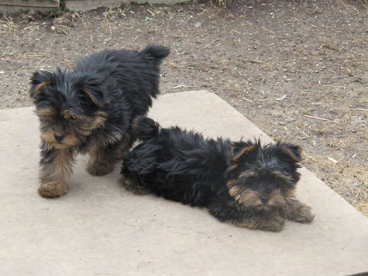 YORKIE PUPS FOR SALE | dogs, puppies for rehoming | Thunder Bay | Kijiji