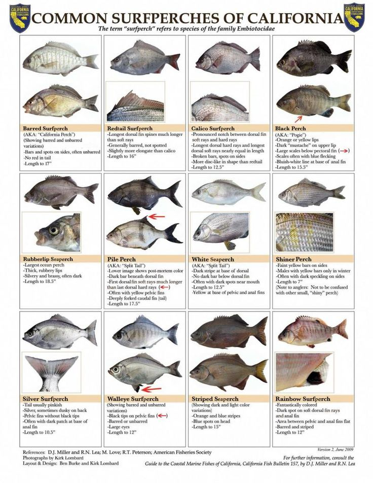 common surfperches of california identification and