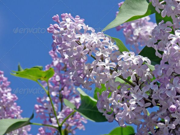DOWNLOAD :: https://jquery.re/article-itmid-1002201703i.html ... lilac ...  azure, beautiful, bloom, blooming, blossom, blue, bush, clear, lilacs, nature, plant, purple, serene, shrub, sky, spring, twig  ... Templates, Textures, Stock Photography, Creative Design, Infographics, Vectors, Print, Webdesign, Web Elements, Graphics, Wordpress Themes, eCommerce ... DOWNLOAD :: https://jquery.re/article-itmid-1002201703i.html
