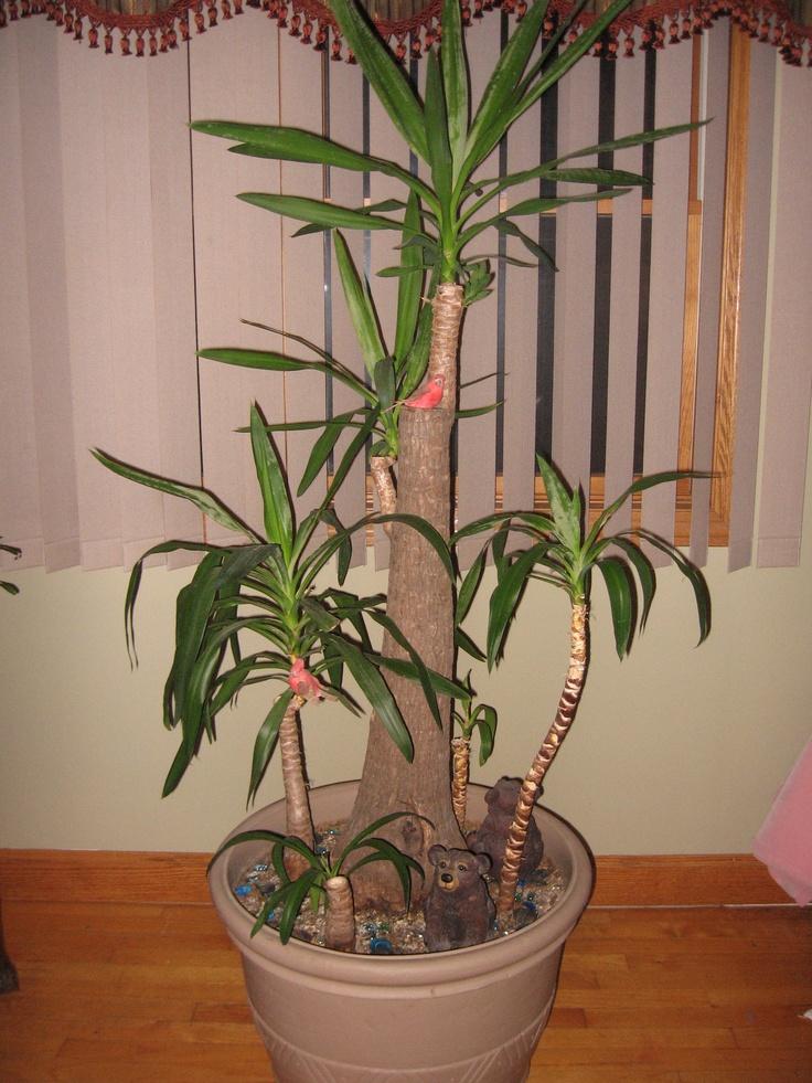 Yucca Plant | Indoor Jungle | Pinterest | Yucca plant ...
