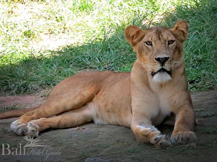Lioness at Bali Zoo - Singapadu, Gianyak, Bali || www.BaliHotelGuide.com