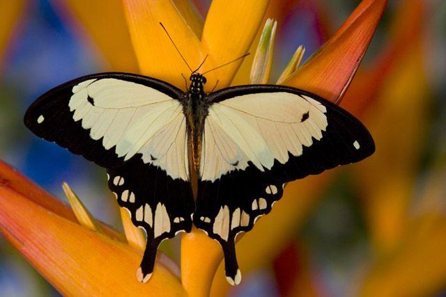 Male Papilio dardanus - Mocker Swallowtail Butterfly  Darrel Gulin Photography