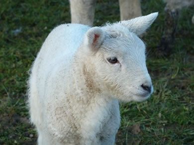 Pictures of sheep and lambs photographed from the croft