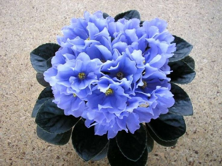 17 Best images about African Violet on Pinterest | The ...