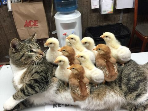 Cat treats ducklings as her own baby's love has no boundaries