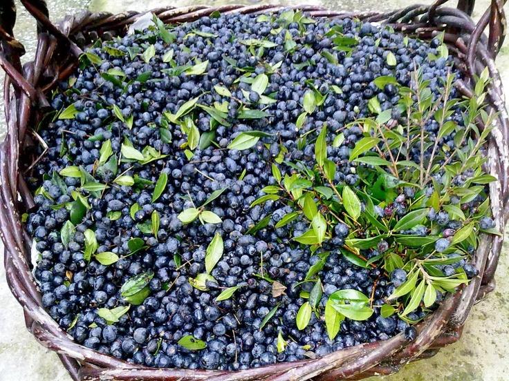 Mirto from which we create our famous and divine liquor Voglia di Sardegna? www.residenzemyrsine.com