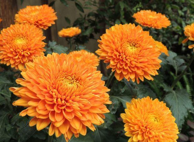 chrysanthemum x morifolium -#main