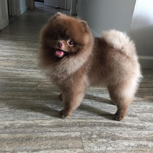 pomeranian haircut style 25 best ideas about pomeranian haircut on pinterest dog 9116