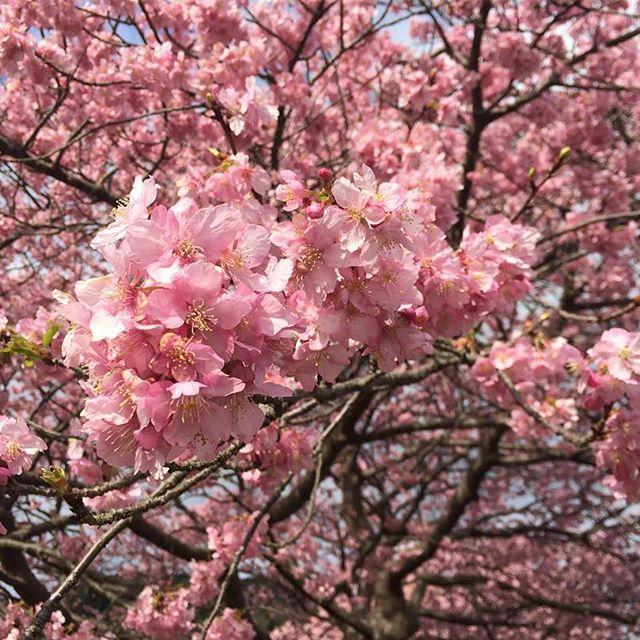 【shinopanic】さんのInstagramをピンしています。 《冬に咲く桜🌸2017ver. #桜#河津桜#加工なし #伊豆#南伊豆#伊豆半島#静岡 #伊豆一周#20170222#trip #御殿場アウトレット滞在時間45分 #お店厳選流し見のみ#行く意味 #楽しいぷち旅行🚙 #伊豆は海がキレイすぎる》