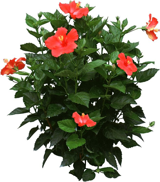"Propagate Hibiscus Plants during the spring either by stem cuttings or air layering. Try to put at least 15-20 cuttings into a 6"" pot if using the stem cutting method."