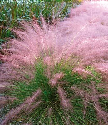 Cotton Candy Grass - Withstands heat, humidity, poor soil and even drought. Very easy to grow, it reaches a mature height of 3-4 feet tall and gets 3-4 feet wide. Grows in all U.S zones.: Mature Height, Feet Wide, Poor Soil, Easy Growing Flowers, Feet Tall, Cotton Candy, 3 4 Feet, Withstand Heat, Candy Grass
