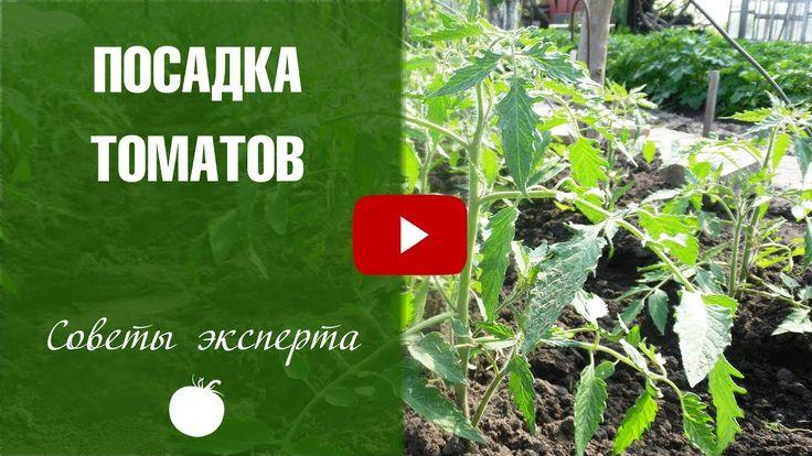 Посадка томатов в открытый грунт  Хитрый способ посадки рассады на Hits...