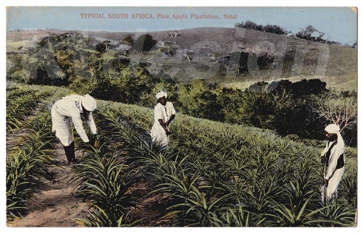 TYPICAL SOUTH AFRICA. Pine Apple Plantation, Natal. Vintage postcard.