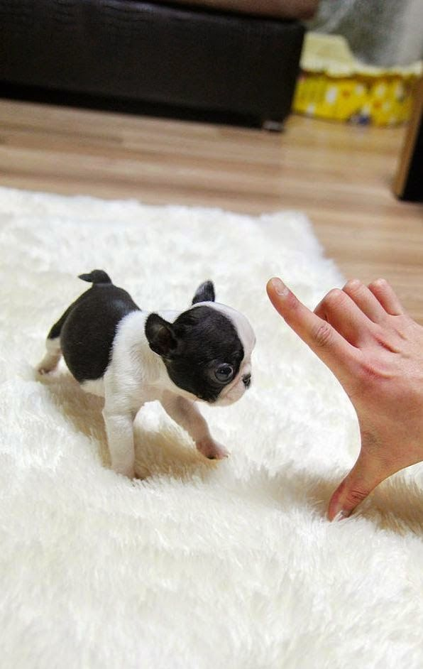 I Love all Dog Breeds: 5 Sweetest Teacup puppies you have ever seen