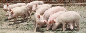 Pig farming business plan pdf. To Get More Information Visit https://startupbizglobal.com/starting-pig-farming-business-plan-pdf/