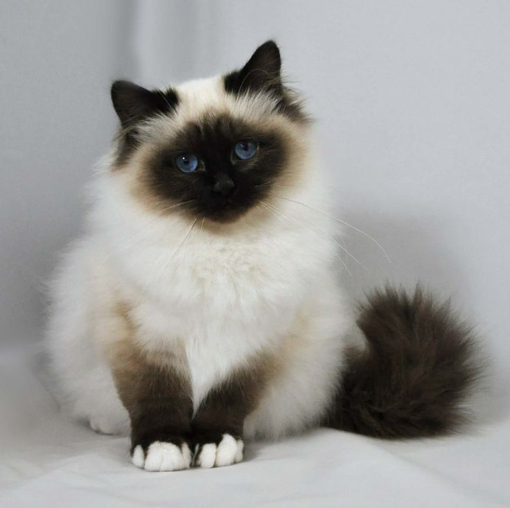 Birman | Kittens For Sale | Felonie Birmans | Birman Cats | Salisbury Wiltshire