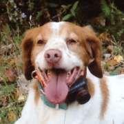 American Brittany Rescue :: Winnie (Michigan)