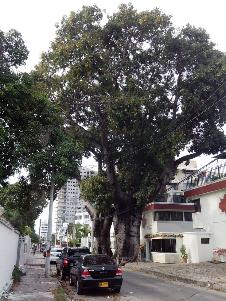 Bonga centenaria ubicada en la 2da. Avenida del tradicional Barrio de Manga