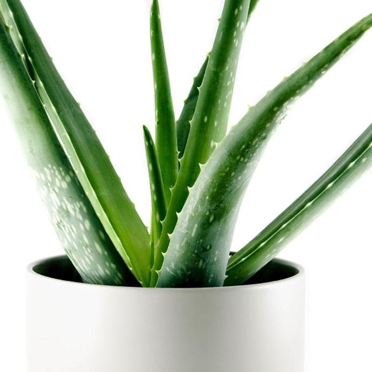 Was haben denn Pflanzen mit einem gesunden Schlaf zu tun? Eine ganze Menge! Diese Zimmerpflanzen machen uns gesund und sind ein Muss im Schlafzimmer – sie helfen uns tatsächlich, viel besser zu schlafen.