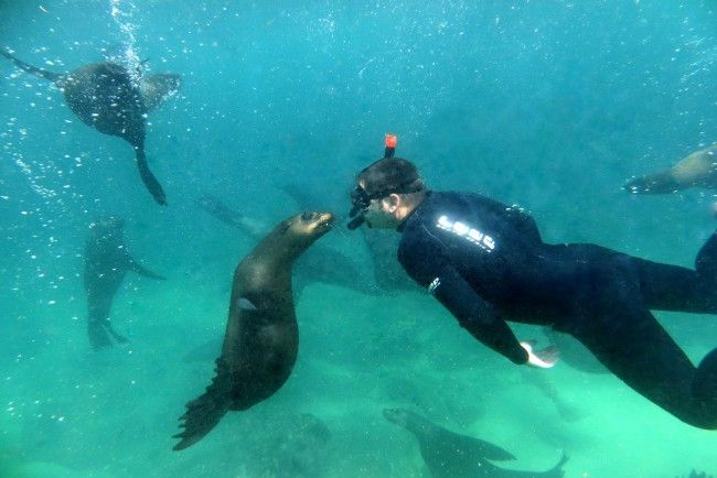 Swim with Seals in Plettenberg Bay, Garden Route with Offshore adventures. Have the ultimate marine animal encounter in their natural environment. Enjoy a boat ride aboard Robberg Express to the seal colony located at Robberg Peninsula in the Robberg Marine Reserve. Jump into the water, swim among bundles of playful inquisitive South African fur seals and enjoy 30 minutes of unlimited fun. Suitable for children from the age of 6 years... #dirtyboots #snorkelling #seals #plett #southafrica