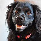 American Brittany Rescue :: Pepper (Utah)