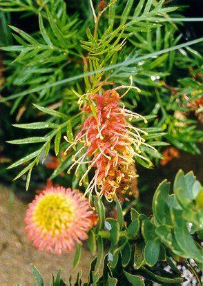 Grevillea Superb Australian Native Plants Nursery 800 701 6517