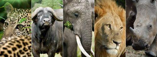 """""""Big Five """" sono tra i mammiferi più mortali in Africa. Il termine è stato originariamente inventato da grandi cacciatori in base a quanto difficile fosse dare la caccia ad ogni animale.  L'espressione è ancora utilizzato da guide turistiche e della fauna selvatica, la diferenza e che l'unico sparo permesso è quello col obbiettivo della camera fotografica e in realtà non è condizionato dalle dimensioni dell'animale."""