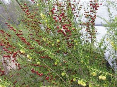 Shade tolerant - Boronia megastigma • Australian Native Plants Nursery • Plants • 800.701.6517