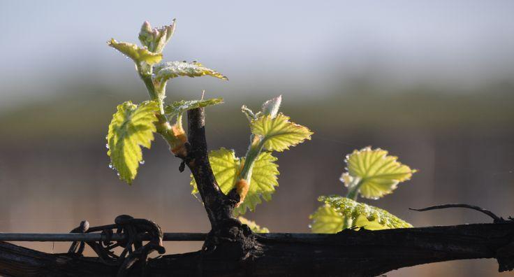 The very early beginnings of 2014 fruit #vintage #vineyard #vine #wine