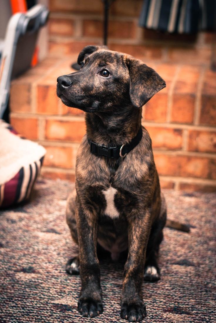 Fletcher The Boxador 4 Months Old Puppy Love