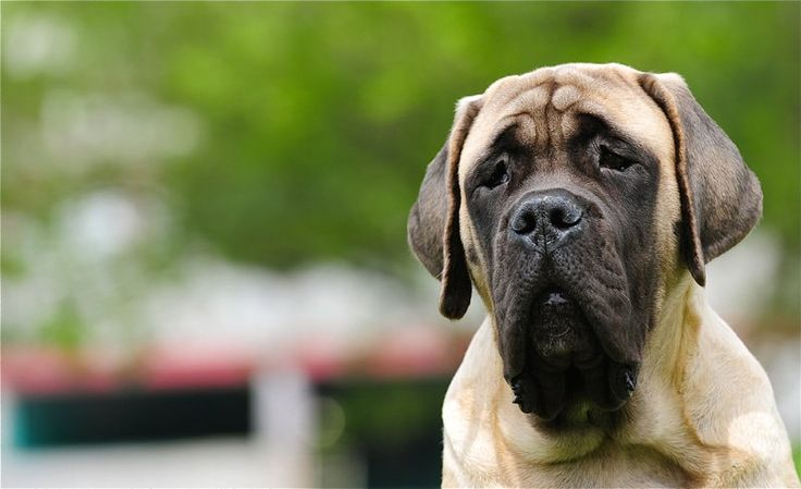 "The breed is commonly referred to as the ""Mastiff"". Also known as the English Mastiff this giant dog breed gets known for its splendid, good nature. Even though"