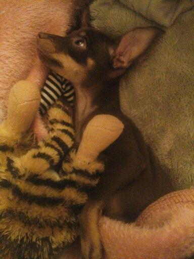 Scrap... I love my minature pincher.. min pin puppy... soon to be dog