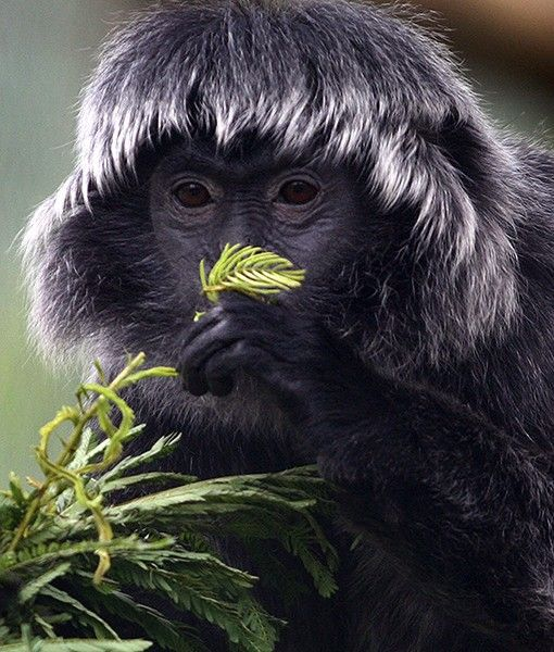 A beautiful and rare Javan langur munches on leaves after arriving in the quarantine area of the Javan Langur Center near Malang, Java.