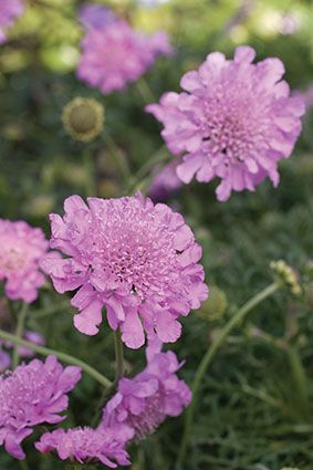 Scabiosa columbaria 'Pink Mist' Location: full sun. Soil: sandy, well-drained soil enriched with compost. Water: regular watering keeps them lush, but generally they are medium water consumers that can survive short periods of drought. Scabiosas watered too frequently may fail to thrive and can die. Fertilizing and pruning: feed regularly during spring and summer with slow-release 3:1:5. Deadhead spent flowers to keep the plants neat.