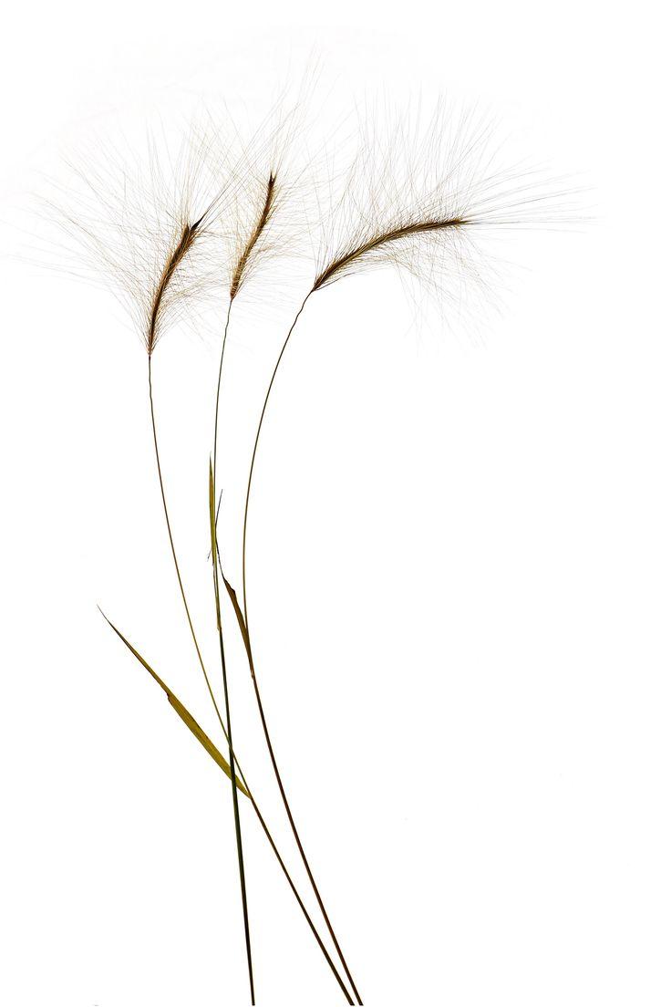 three grass stems by Mary Jo Hoffman