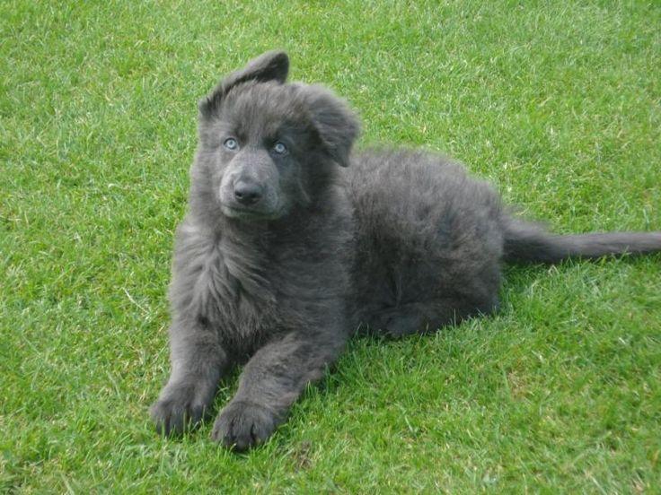 Blue German Shepherd   Enakai, our 10 weeks old blue GSD. - German Shepherd Dog Forums