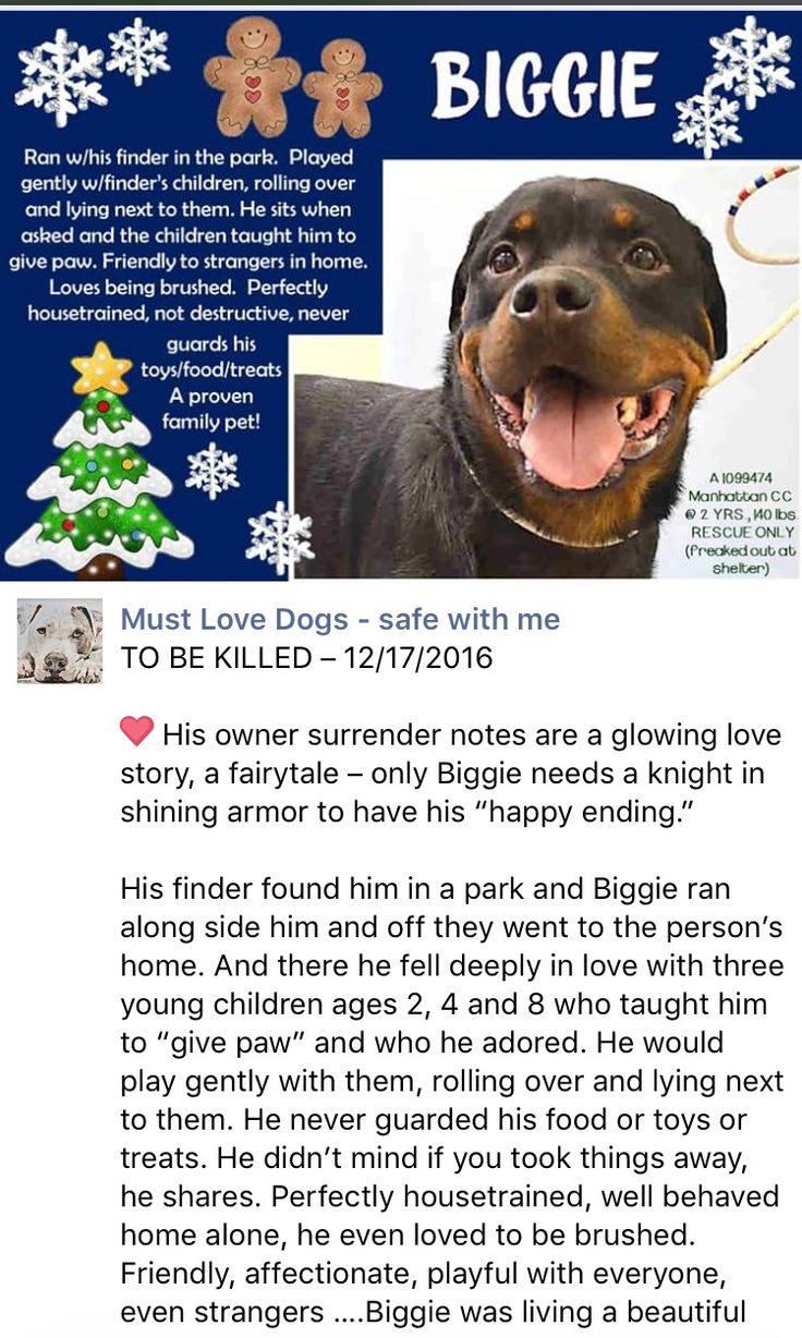 SAFE❤️❤️ 12/18/16 BY FOR THE LOVE OF DOG - ROTTWEILER RESCUE OF NH❤️ THANK YOU❤️❤ Manhattan Center BIGGIE – A1099474 MALE, BLACK / RED, ROTTWEILER, 2 yrs STRAY – STRAY WAIT, NO HOLD Reason STRAY Intake condition UNSPECIFIE Intake Date 12/12/2016 http://nycdogs.urgentpodr.org/biggie-a1099474/