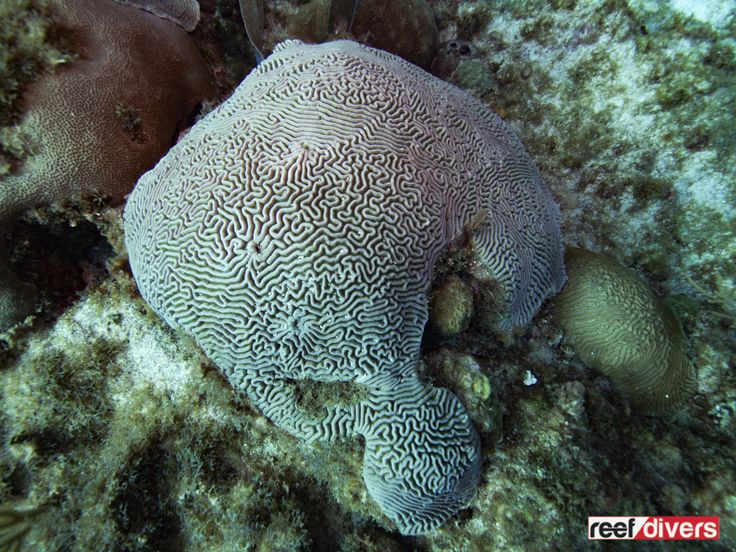 Diploria strigosa The Symmetrical Brain Coral, Diploria strigosais a common sight for snorkelers and scuba divers in the Caribbean. This coral grows into round brain like colonies.