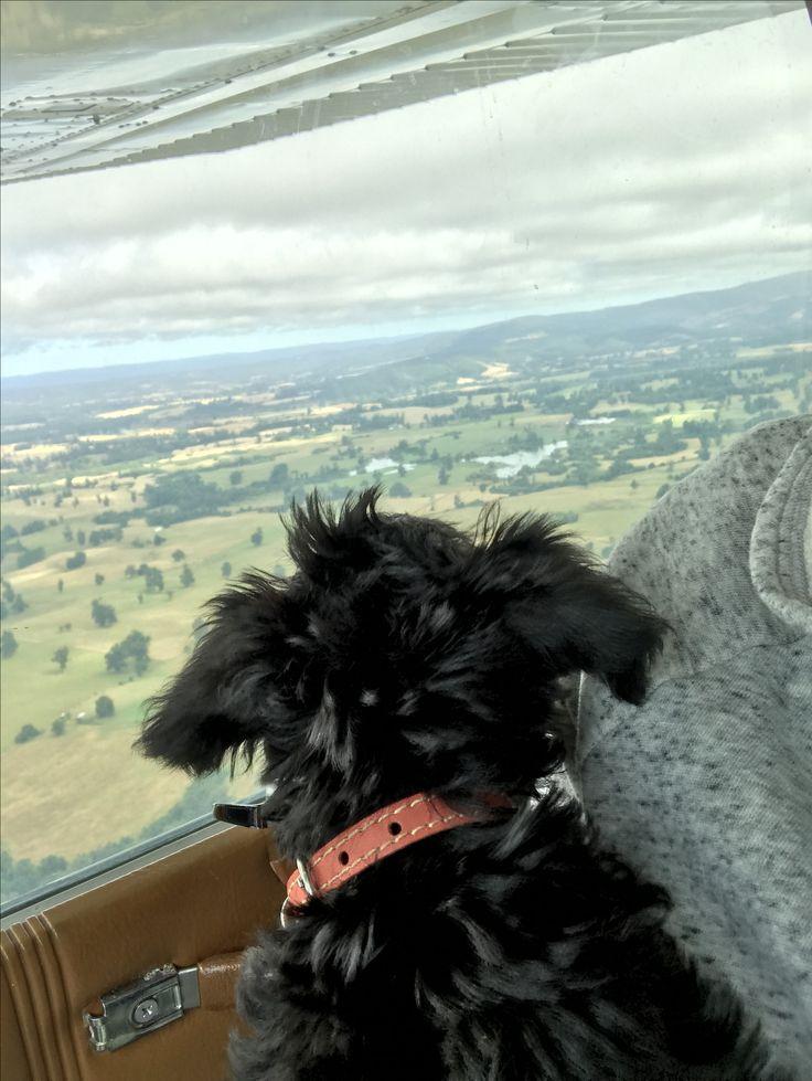 Vito #MiniSchnauzer Schnauzer Puppy 2 meses y disfrutando del paisaje en su avión ✈️