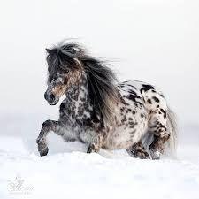 Картинки по запросу лошадь аппалуза