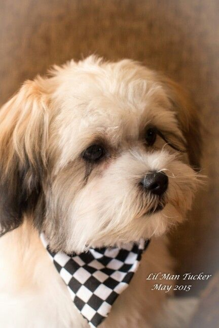 full blooded shih tzu 17 best images about mal shi on pinterest puppys best 7141